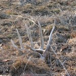 illinois-monster-whitetail-buck-sheds-003